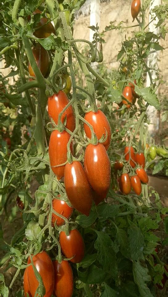 迷彩小番茄